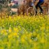 Giới trẻ Hà Nội thích thú với mùa hoa cải