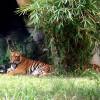 Nhiều giả thiết vụ hổ sổng chuồng cắn chết người